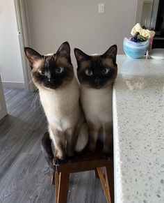 Ragdoll Siamese, Animals And Pets, Cute Animals, Oriental Cat, Funny Cute Cats, Cat Aesthetic, Funny Animal Videos, Beautiful Cats, Cat Life