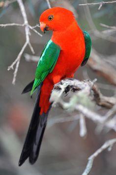 Colorful Birds - Parrot - King Parrot (Male) - by Ralph de Zilva on 500px
