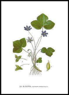 Kasviaiheinen juliste kauniilla sinivuokolla.