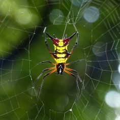 Spiny spider, Micrathena sp.