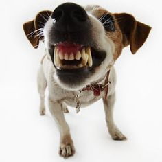 """Resource Guarding Jack Russell Terrier – """"Ask the Dog Guy"""" with . Jack Russell Terriers, Dog Growling, Pet Shop Online, Education Canine, Jack Russells, Aggressive Dog, Dog Training Tips, Crate Training, Training Classes"""