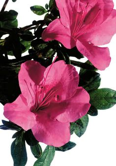 Dwarf Encore®️ Azaleas: Small in Habit, Bold on Blooms! Read more for plant pairings with Southern Living Plant Collection. Fall Flowers, Summer Flowers, Love Flowers, Azaleas Landscaping, Types Of Plumbing, Language Of Flowers, Garden Soil, Small Gardens, Garden Inspiration