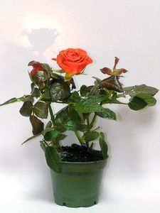 How to Overwinter Potted Rose Plants