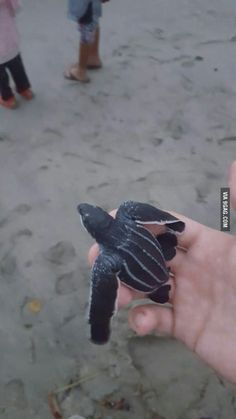 Leatherback nesting season in my country of Trinidad (caribbean ) Trinidad Caribbean, Leatherback Turtle, Super Cute Animals, Cute Creatures, Best Funny Pictures, Cute Kids, Seasons, Country, Pets