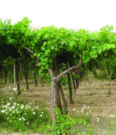 Vineyards of Dragone outside Matera