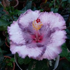 Hibiscus Flowers, Tropical Flowers, Large Flowers, Colorful Flowers, Beautiful Flowers, Tropical Gardens, Unique Trees, Small Trees, Meteor Falls