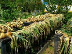 When to harvest onions.