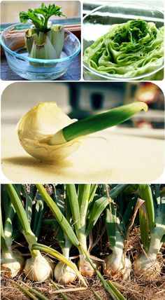 3 Vegetables That Can Be Regrow From Scraps  1- Romaine Lettuce, Celery, Bok Choy, & Cabbage These all are regrown by placing the roots in a dish of water. Click the pic and then scroll down the pg to get directions