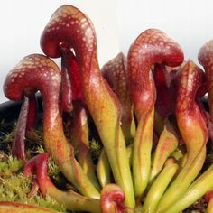 darlingtonia | DARLINGTONIA CALIFORNICA (Siuslaw National Forest, Oregon ...