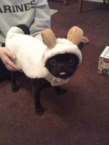 Find pet costumes for your families dogs and cats this Halloween. We have many sizes and styles of pet Halloween costumes that are great for a group look. Cute Pugs, Cute Puppies, Dogs And Puppies, Doggies, Funny Dogs, Funny Animals, Cute Animals, Small Animals, Costume Halloween