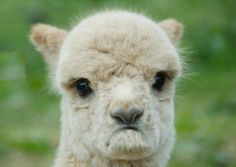 """everyone I know calls my alpacas llamas. my grade social studies says """" hey, so how are the llamas?"""" and then i correct him saying they're alpacas. and that's what all my friends do alot too Cute Funny Animals, Funny Animal Pictures, Cute Baby Animals, Funny Cute, Animals And Pets, Funniest Animals, Hilarious, Alpacas, Missing Bae"""