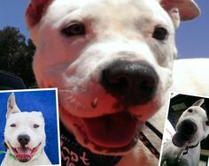 Blanco is a 1 year old pit bull terrier, and he's ready for a forever home! Please contact me at: hollywooftotherescue@gmail.com