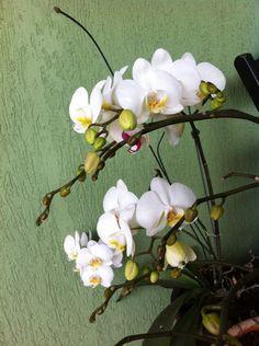Minhas orquideas#domeujardim