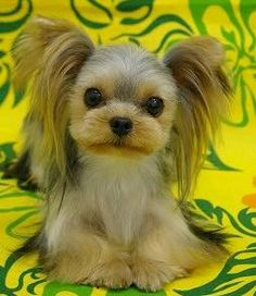 A Grateful Dog Inc. - Services, Japanese Style Yorkie