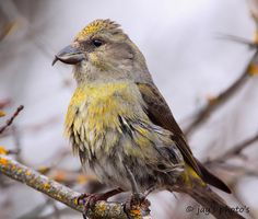 Crossbill, by Walk in the Woods Photography