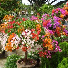 Top Selling Colorful Bougainvillea Spectabilis Willd Seeds Bonsai Plant Flower Seeds Perennial Bougainvillea seeds - 100 PCS