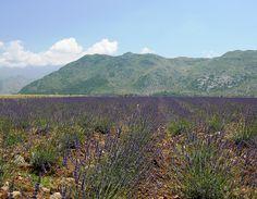 Lavender, Koplik, Albania by David, via Flickr