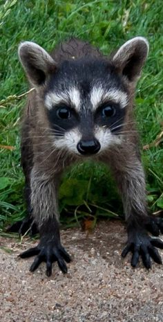 """beautiful-wildlife: """" Baby Raccoon by """" Raccoon Hands, Baby Raccoon, Cute Wild Animals, Animals And Pets, Baby Animals, Raccoon Family, Lovely Creatures, Tier Fotos, Cute Animal Pictures"""