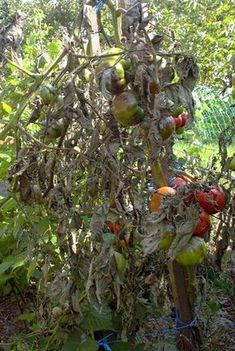 Plant Pathology, Garden Pests, Microbiology, Pest Control, Vegetable Garden, Organic Gardening, Fruit, Vegetables, Flowers