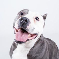 Meet Caroline, an adoptable Pit Bull Terrier looking for a forever home. If you're looking for a new pet to adopt or want information on how to get involved with adoptable pets, Petfinder.com is a great resource.