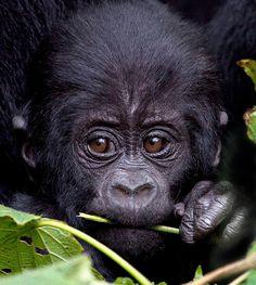 Baby Mountain Gorilla, Bwindi Forest, Uganda   by John Rickwood