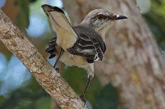 State Bird of Florida - Northern Mockingbird