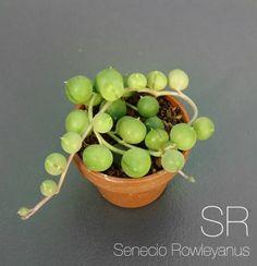 Senecio Rowleyanus
