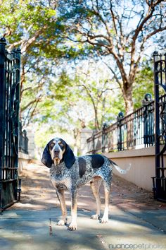 Bones, a Bluetick Coonhound » Nuance Pet Photos Blog | Charleston SC Pet Photography