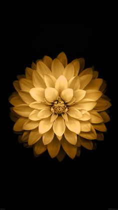 iPhone6papers.co-Apple-iPhone-6-iphone6-plus-wallpaper-ad39-apple-yellow-lotus-iphone6-plus-ios8-flower