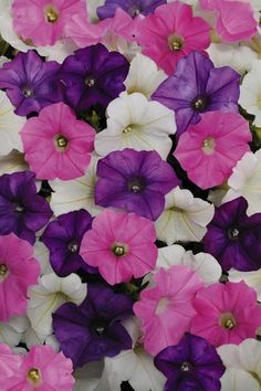 """shock wave petunia - I bought complete mix of colors. Flowers are to 2 """" compared to """"about an inch"""" for calibracha (million bells) and up to on regular petunias Seeded on Sprouted on 12 plants Flower Boxes, My Flower, Flower Containers, Trailing Petunias, Easy Waves, Shock Wave, Pink And White Flowers, Annual Plants, Flower Seeds"""