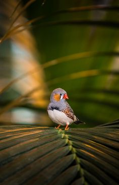 Adult zebra finches use modified songs to teach chicks, a new study finds, and they might even teach us something about ourselves.