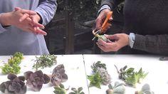 Succulent Preparation for Bouquets, Corsages, and Boutonnieres