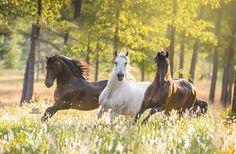 Paso Fino Stallions