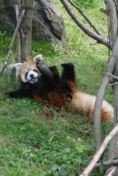 so frickin' cute! Cute Funny Animals, Cute Baby Animals, Animals And Pets, My Spirit Animal, My Animal, Red Panda Cute, Panda Mignon, Animal Photography, Pet Birds