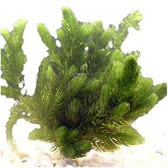 coontail aquatic plant