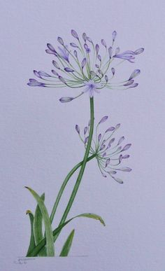 Agapanthus, watercolour by Judith Jerams, Loire Valley, France Watercolor Cards, Watercolor Print, Watercolour Painting, Watercolor Flowers, Painting & Drawing, Watercolours, Botanical Art, Botanical Illustration, Watercolor Illustration