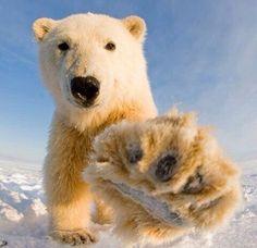 Animals And Pets, Funny Animals, Cute Animals, Polar Bears Endangered, Reptiles, Mammals, Lion Tigre, Polar Bears International, Wooly Bully