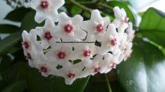 Mevsimlik Çiçek Bakımı: MUM ÇİÇEĞİ (HOYA CARNOSA) BAKIMI