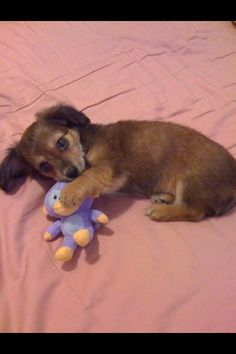 Chiweenie puppy.....so cute!!