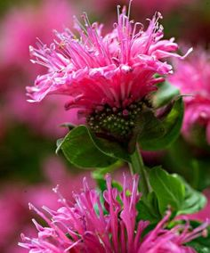 Bee Balm Monarda Cranberry Lace has a long flowering period, June to October, according to Spalding Bulb Co. Full sun to partial shade, do not let it dry out, especially in container. Plant in good soil with compost and/or manure.