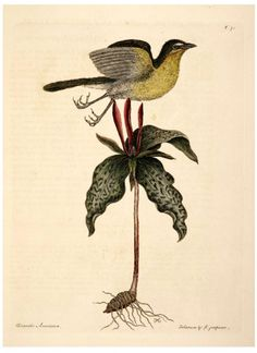 Animal - Bird - Catesby 49 Yellow Breasted Chat