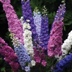 Candle Larkspur, Delphinium 'Pacific Giants Round Table Mix' (Delphinium elatum) ................................. Part of the 'Round Table' Series