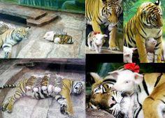 E olha que beleza de adoção, ao invés da tigresa comer todos os porquinhos, adotou cada um como seu próprio filhota, formidável não? Não é todo dia que algo assim acontece no reino animal, nem em zoológico, bota a mãozinha na jaula de um tigre para ver se ele não faz churrasquinho com ela.