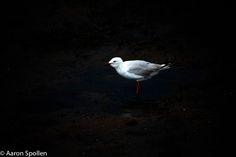 seagull lightroomed