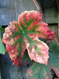 Afbeeldingsresultaat voor druivenbladeren herfst