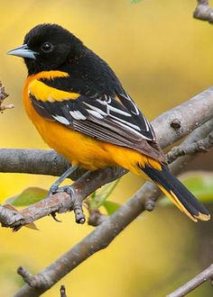 Baltimore Oriole - photo by Paul Sparks - Animals Cute Birds, Pretty Birds, Small Birds, Little Birds, Colorful Birds, Birds Pics, Small Animals, Most Beautiful Birds, Animals Beautiful