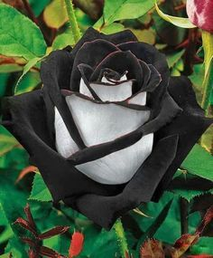 Black Rose .... this very rare Black Rose is found in a region of Turkey called 'Halfeti'