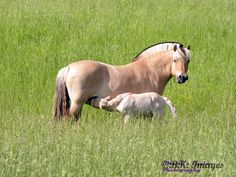 Norwegian Fjord Mare and Her New Foal in Pasture Enjoying a Summer's Day.