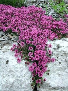 Need a ground cover in a otherwise not very useable bed . We are and this says zones 4 to 9 . Creeping Thyme Ground Cover: Prefers full sun but will tolerate partiant shade. Fragrant and evergreen. Drought tolerant and spreads quickly. Rock Wall Landscape, Jardin Decor, Plantas Bonsai, Perfect Plants, Shade Garden, Rock Garden Plants, Rock Wall Gardens, Rockery Garden, Xeriscaping