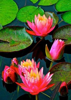 Pink Lily Softness by Tim G Ross